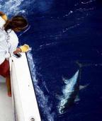 Hawaii fishing charters for yellowfin tuna