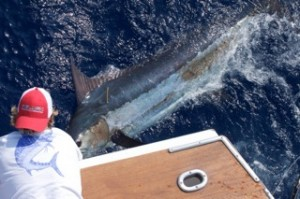 Hawaii Fishing marlin tag and release