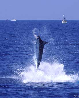 Kona Top 10 US Billfish Spot for Hawaiii Fishing Charter