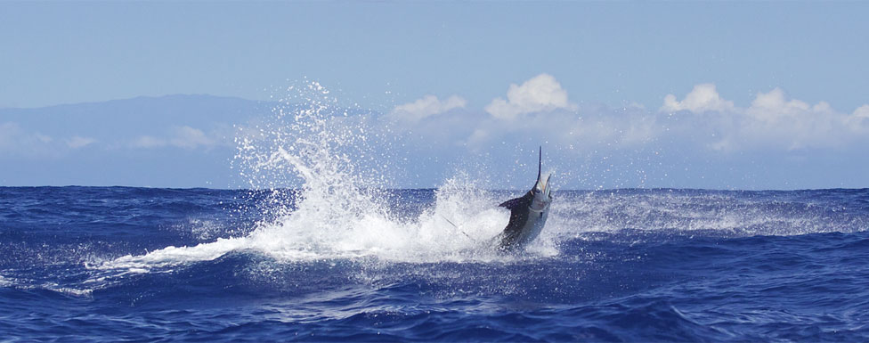 Hawaii fishing charter kona sportfishing for Hawaii fishing charters