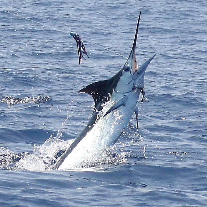 Marlin magazine names kona top marlin fishing destination for Kona hawaii fishing
