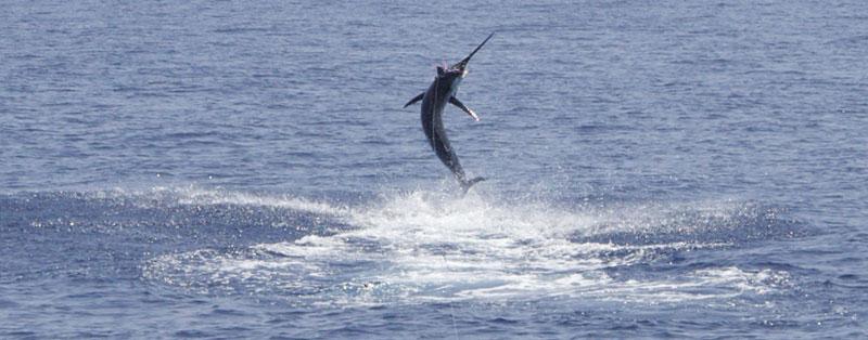 Grander - Blue Marlin