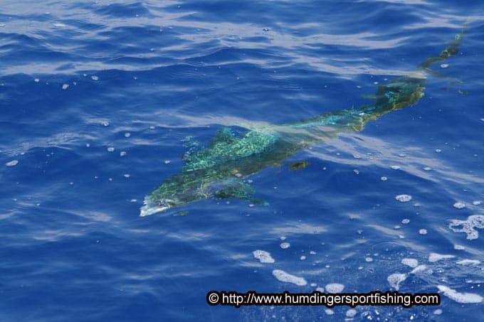Kona fishing report october 18 2016 the big island of for Fishing big island hawaii