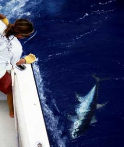 Humdinger - blue marlin Fishing Trip