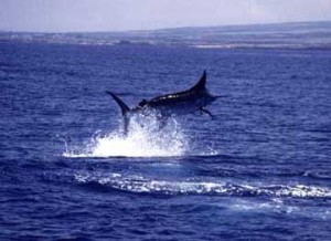 hawaii-blue-marlin-fishing-tournaments