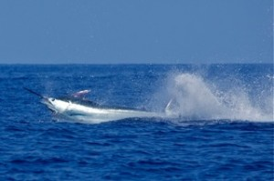Hawaii fishing charters and tournaments on the charter boat Humdinger