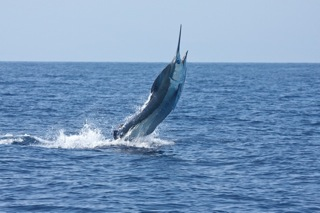 Kona Hawaii Fishing Charters for Blue Marlin on the Charter Boat Humdinger with Captain Jeff Fay