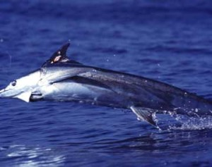 Hawaii Fishing Charters in Kona for Marlin Spearfish and Tuna