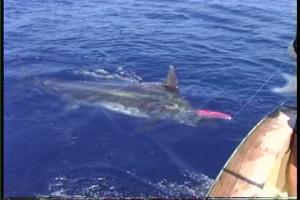 hawaii fishing videos on the Kona charter boat Humdinger