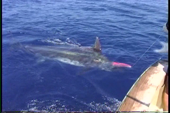Kona fishing videos blue marlin for first time big game for Kona fishing charters