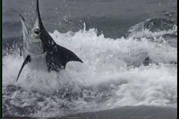 Hawaii fishing charter videos on the Humdinger in Kona Hawaii
