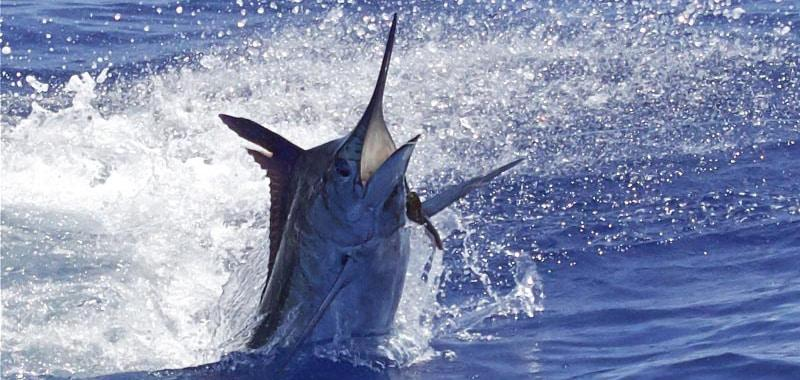 Blue Marlin about 400 lbs