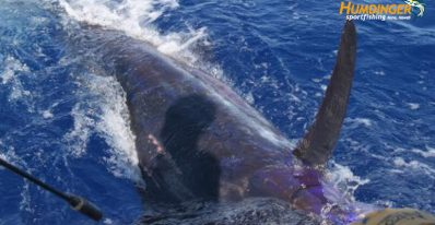 Fishing Report - 500 pound marlin